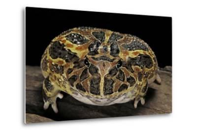 Ceratophrys Ornata (Ornate Horned Frog, Escuerzo)-Paul Starosta-Metal Print