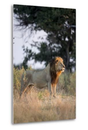 Male Lion, Moremi Game Reserve, Botswana-Paul Souders-Metal Print