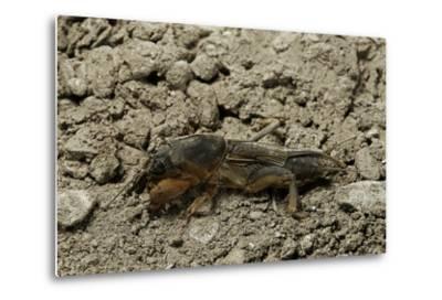 Gryllotalpa Gryllotalpa (European Mole Cricket)-Paul Starosta-Metal Print