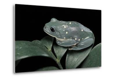 Pachymedusa Dacnicolor (Mexican Leaf Frog)-Paul Starosta-Metal Print