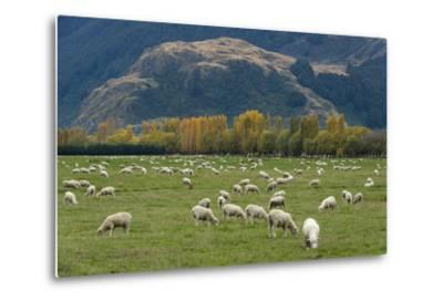 Sheep Graze in a Pasture in Mount Aspiring National Park-Michael Melford-Metal Print