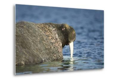 Walrus in Hudson Bay, Nunavut, Canada-Paul Souders-Metal Print