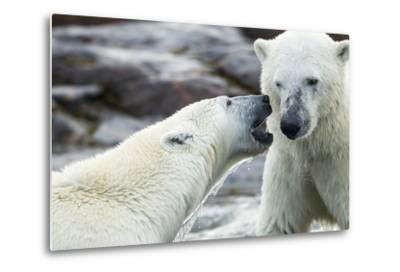 Polar Bears Sparring on Harbour Islands, Hudson Bay, Nunavut, Canada-Paul Souders-Metal Print