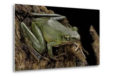 Odorrana Hosii (Poisonous Rock Frog)-Paul Starosta-Metal Print