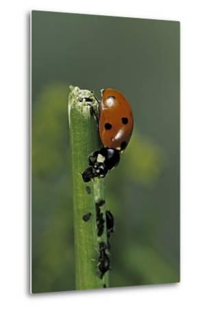 Coccinella Septempunctata (Sevenspotted Lady Beetle) - Devouring Aphids-Paul Starosta-Metal Print