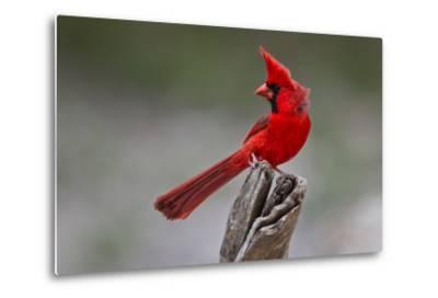 A Male Cardinal Perched on a Stump-Karine Aigner-Metal Print