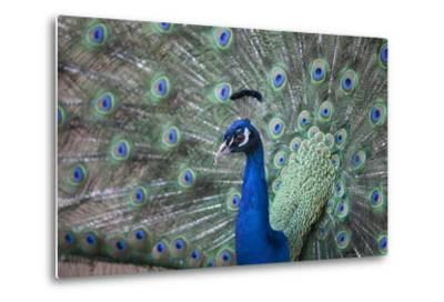 Peacock, Cotswold Wildlife Park, Costswolds, Gloucestershire, England, United Kingdom, Europe-Charlie Harding-Metal Print