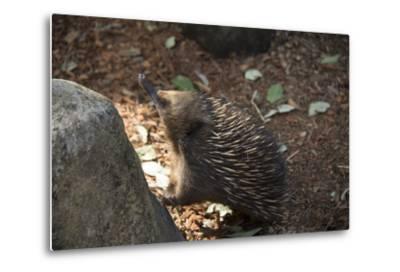Short-Beaked Echidna, Tachyglossus Aculeatus, at the Taronga Zoo-Joel Sartore-Metal Print