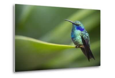 A Perching Green Violet Ear Hummingbird-Roy Toft-Metal Print