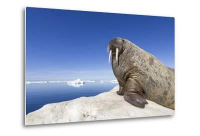 Walrus on Iceberg, Hudson Bay, Nunavut, Canada-Paul Souders-Metal Print