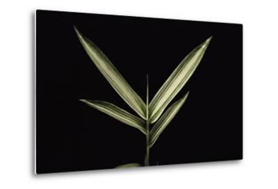 Pleioblastus Shibuyanus (Tsuboi Bamboo) - Leaf-Paul Starosta-Metal Print