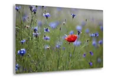 Red Poppy (Papaver Rhoeas) Brown Knapweed (Centaurea Jacea) and Forking Larkspur, Slovakia-Wothe-Metal Print