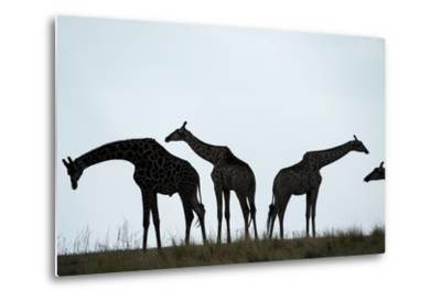 Giraffe Herd, Chobe National Park, Botswana-Paul Souders-Metal Print