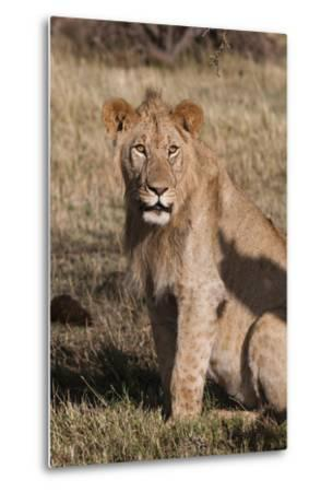 Portrait of a Male Lion, Panthera Leo, Looking at the Camera-Sergio Pitamitz-Metal Print