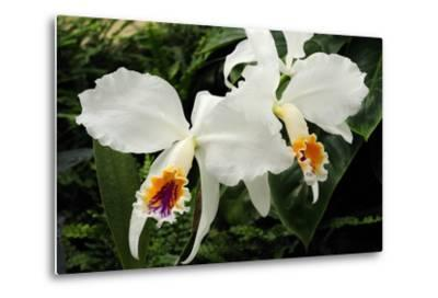 Close Up of Two Cattleya Orchids-Darlyne A^ Murawski-Metal Print