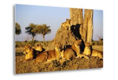 Lion Pride Resting at Acacia Tree--Metal Print
