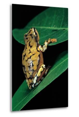 Hyperolius Puncticulatus (Spotted Reed Frog)-Paul Starosta-Metal Print