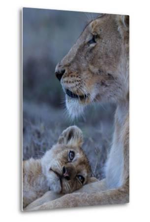 A Lion Cub Looks Up at its Mother-Michael Nichols-Metal Print