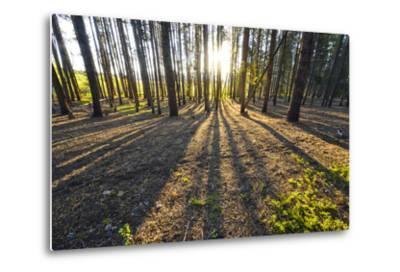 Sunlight Shining Through a Pine Forest-Keith Ladzinski-Metal Print