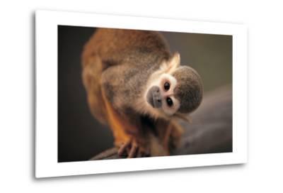Squirrel Monkey-Lantern Press-Metal Print