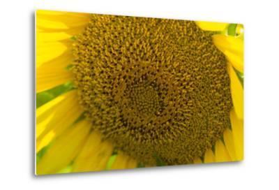 Close Up of a Sunflower, Helianthus Petiolaris-Stephen Alvarez-Metal Print