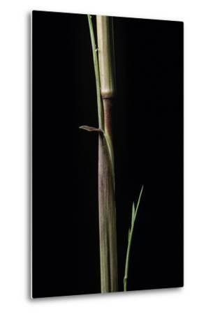 Phyllostachys Aureosulcata 'Aureocaulis' (Yellow Groove Bamboo) - Shoot-Paul Starosta-Metal Print