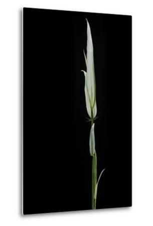 Phyllostachys Aurea 'Albovariegata' (Golden Bamboo, Fish-Pole Bamboo)-Paul Starosta-Metal Print