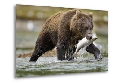 Brown Bear, Katmai National Park, Alaska-Paul Souders-Metal Print