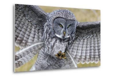 A Great Gray Owl Focuses in on its Next Meal-Barrett Hedges-Metal Print