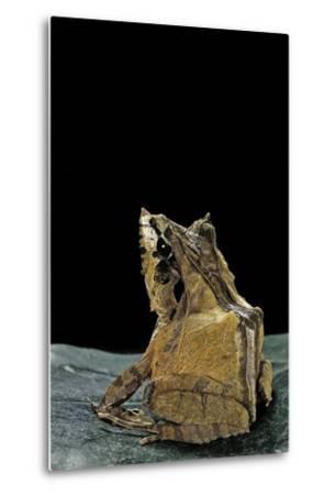 Ceratobatrachus Guentheri (Gunther's Triangle Frog)-Paul Starosta-Metal Print