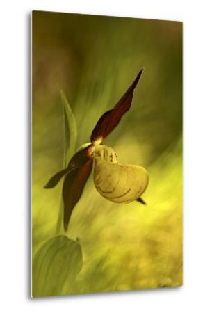 Italy, Friuli Venezia Giulia , Lady's Slipper (Slipper Orchid)-Cristiana Damiano-Metal Print