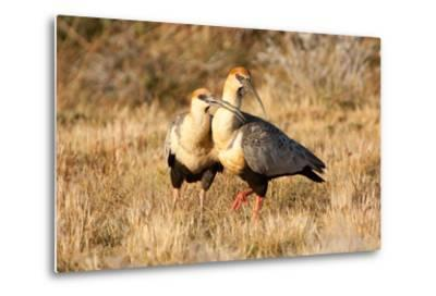 Black-Faced Ibis, Theristicus Melanopis, with a Chick, Eating-Tom Murphy-Metal Print