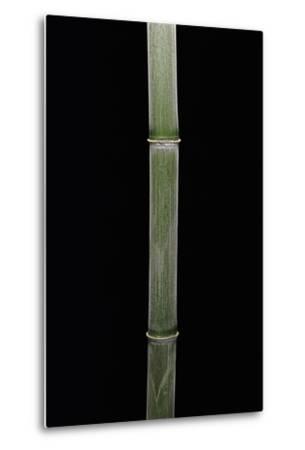 Phyllostachys Pubescens (Moso Bamboo)-Paul Starosta-Metal Print