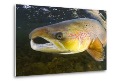 Atlantic Salmon (Salmo Salar) Male, River Orkla, Norway, September 2008-Lundgren-Metal Print