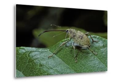 Curculio Elephas (Chestnut Weevil)-Paul Starosta-Metal Print
