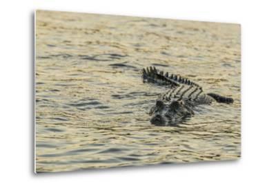 An Adult Wild Saltwater Crocodile (Crocodylus Porosus), Mitchell River National Park-Michael Nolan-Metal Print