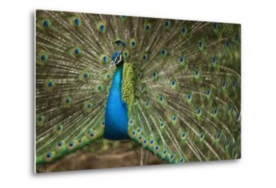 Male Indian Peacock in Costa Rica--Metal Print