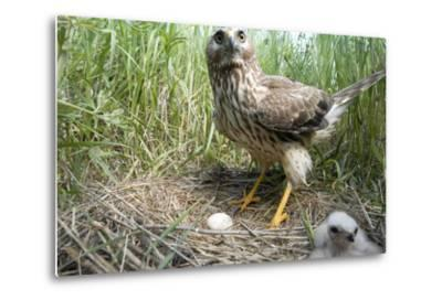 A Female Northern Harrier Hawk with a Chick and an Egg in Her Nest-Michael Forsberg-Metal Print