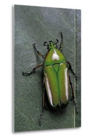 Smaragdesthes Africana (Flower Beetle)-Paul Starosta-Metal Print