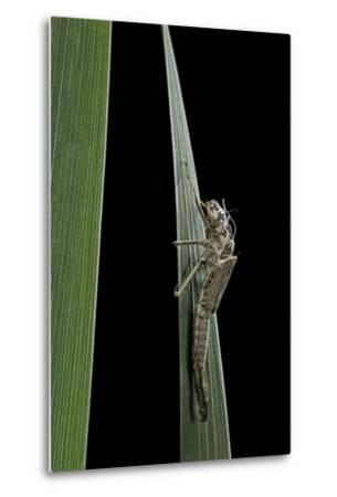 Pyrrhosoma Nymphula (Large Red Damselfly) - Larva Skin after Emerging-Paul Starosta-Metal Print