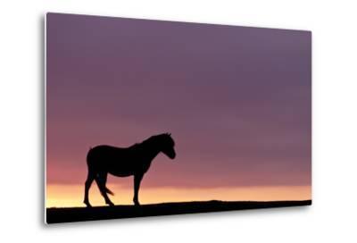 Silhouetted Dartmoor Pony (Equus Caballus) at Sunrise, Combestone Tor, Dartmoor Np, Devon, UK-Ross Hoddinott-Metal Print