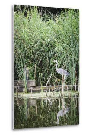 Grey Heron (Ardea Cinerea) by Waters Edge-Mark Doherty-Metal Print