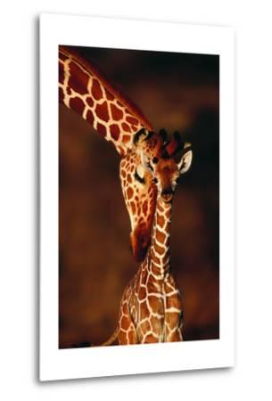 Giraffe and Baby-Lantern Press-Metal Print