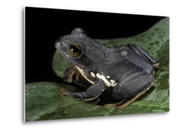 Rhacophorus Dennysi (Chinese Gliding Frog)-Paul Starosta-Metal Print