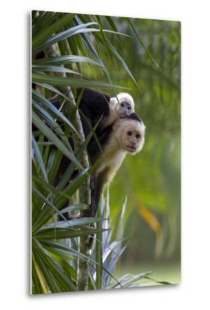 An Adult and Juvenile Brown Capuchin Monkey-Roy Toft-Metal Print