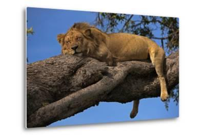 A Male Lion Sleeping in a Tree-Beverly Joubert-Metal Print