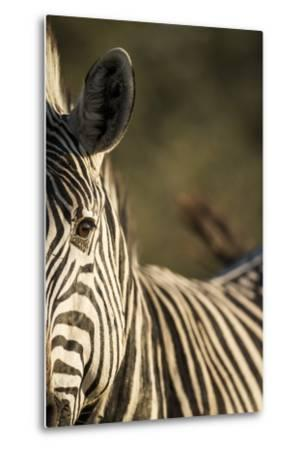 Plains Zebra, Moremi Game Reserve, Botswana-Paul Souders-Metal Print