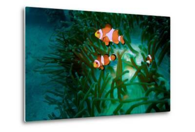 A Close Up of a False Clown Anemone Fish, Amphiprion Ocellaris, Swimming in an Anemone-Ben Horton-Metal Print