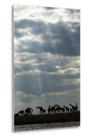 Giraffe Herd along Chobe River, Chobe National Park, Botswana-Paul Souders-Metal Print