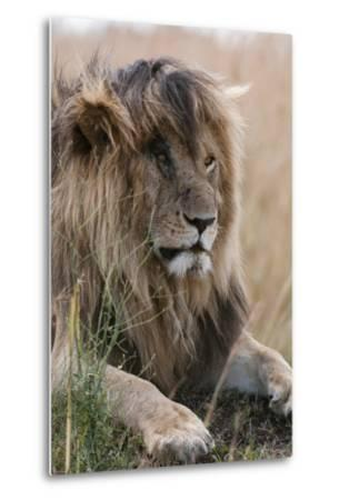 Portrait of a Resting Male Lion, Panthera Leo, known in the Masai Mara As, Scarface-Sergio Pitamitz-Metal Print